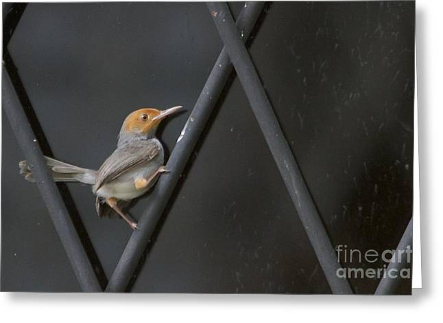 Greeting Card featuring the photograph Red Headed Tailorbird. by Gary Bridger