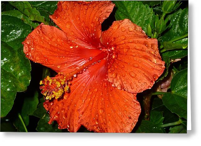 Greeting Card featuring the photograph Red Hibiscus After The Rain by Renee Trenholm