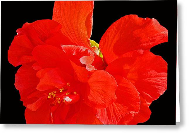 Greeting Card featuring the photograph Red Hibiscus by Cindy Manero