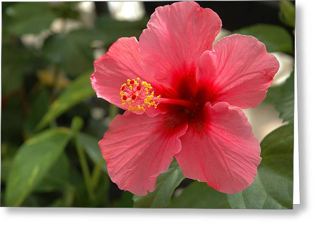 Red Hibiscus Greeting Card by Jerry McElroy