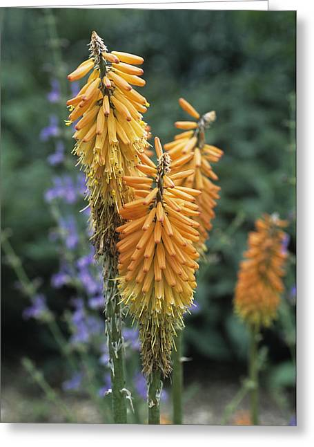Red Hot Poker (kniphofia Ensiflora) Greeting Card by Adrian Thomas