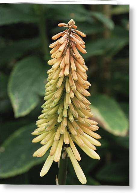 Red Hot Poker (kniphofia 'tawny King') Greeting Card by Archie Young