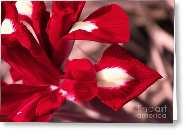 Greeting Card featuring the photograph Red Iris by AmaS Art