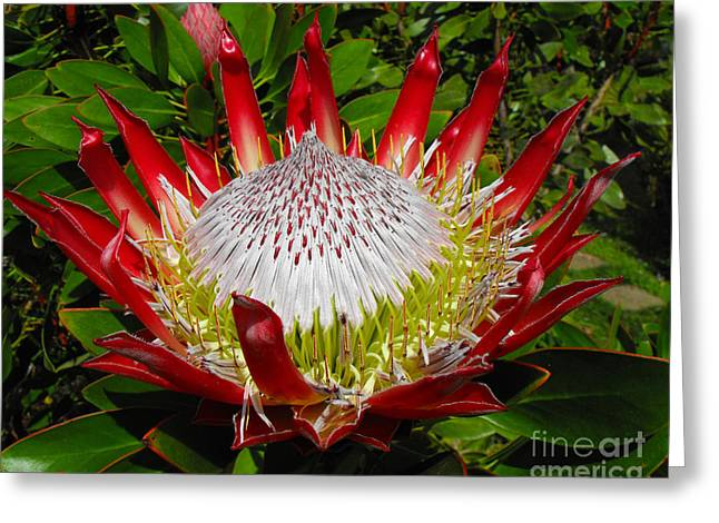 Red King Protea Greeting Card by Rebecca Margraf