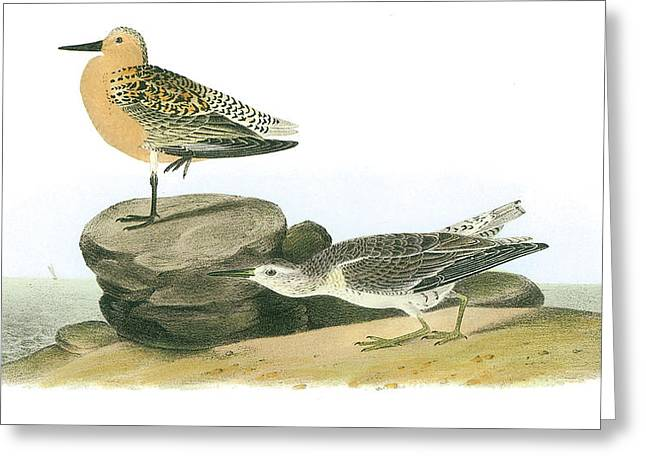 Red Knot Greeting Card