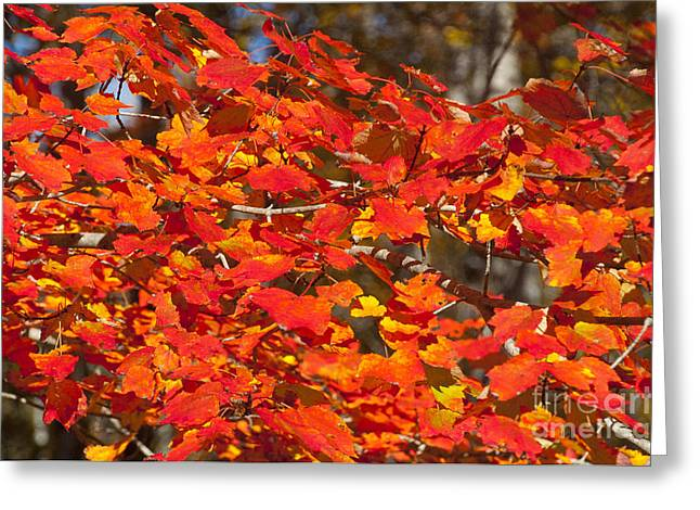 Red Leaves Greeting Card by Charles  Ridgway