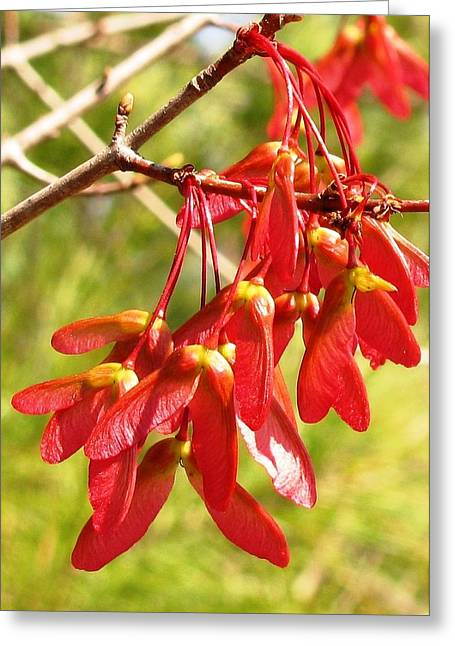 Red Maple Keys Greeting Card by Debra Spinks