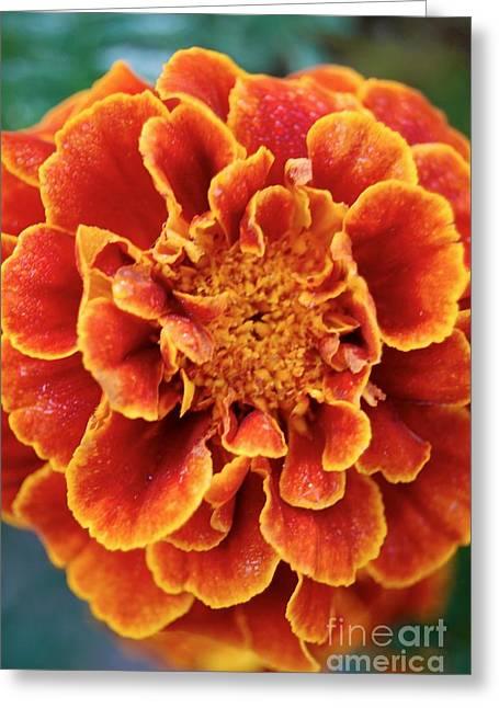 Red-orange Marigold Greeting Card