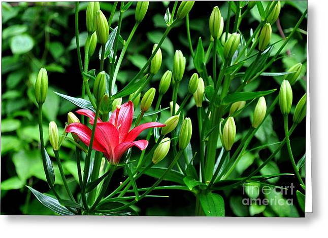 Red Oriental Lily Greeting Card by Tanya  Searcy