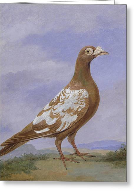 Red Pied Carrier Pigeon Greeting Card by D the younger Wolstenholme
