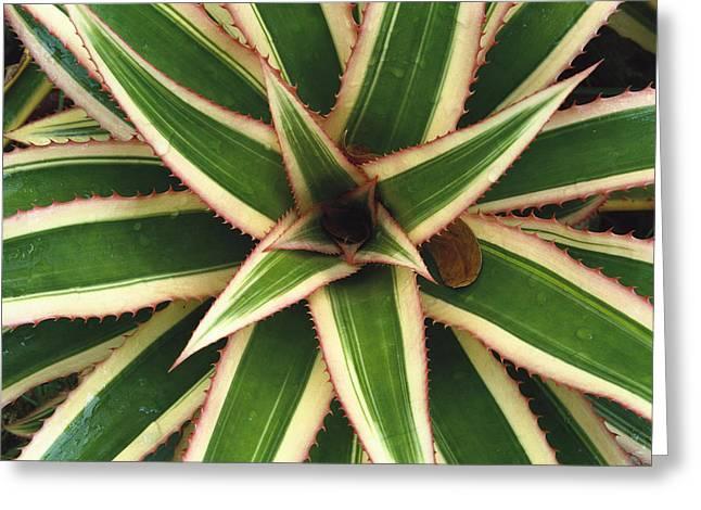 Red Pineapple Bromeliad Ananas Comosus Greeting Card