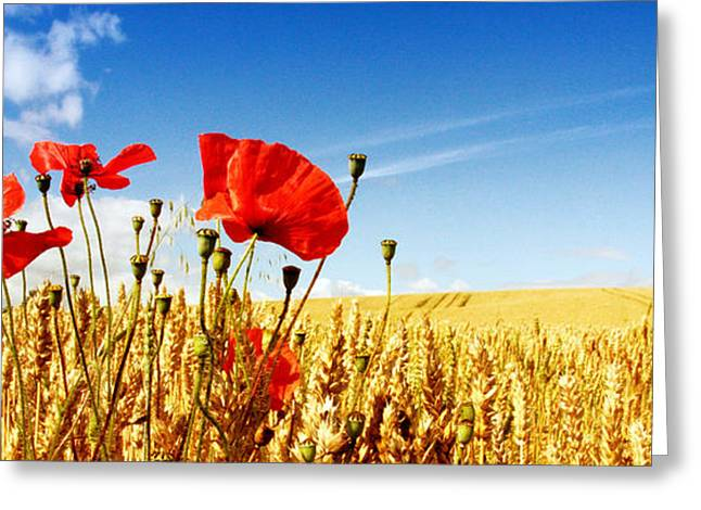 Red Poppies In Golden Wheat Field Greeting Card by Catherine MacBride
