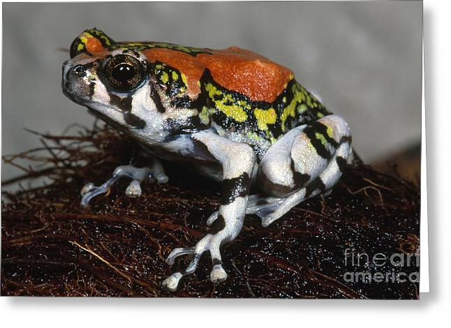Red Rain Frog Greeting Card by Dante Fenolio