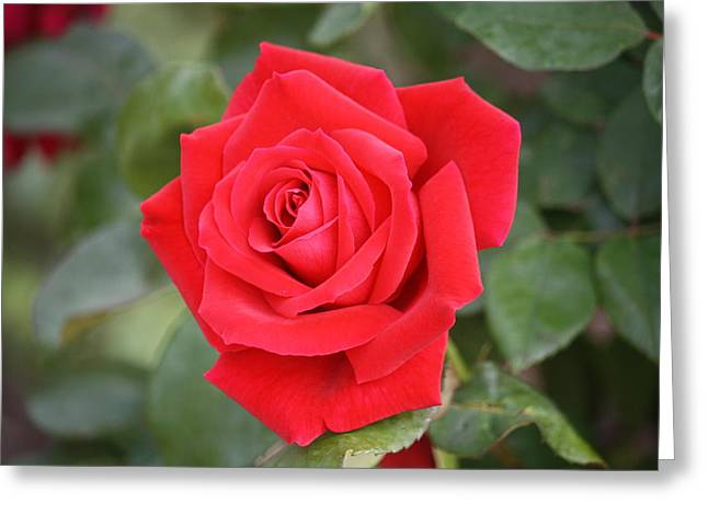 Greeting Card featuring the photograph Red Rose by Donna  Smith