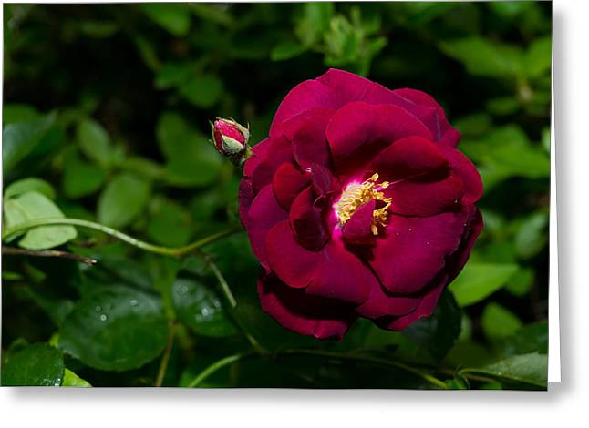 Red Rose In The Wild Greeting Card