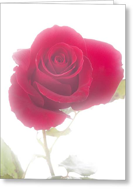 Red Rose Isolated On White Fog Greeting Card by M K  Miller