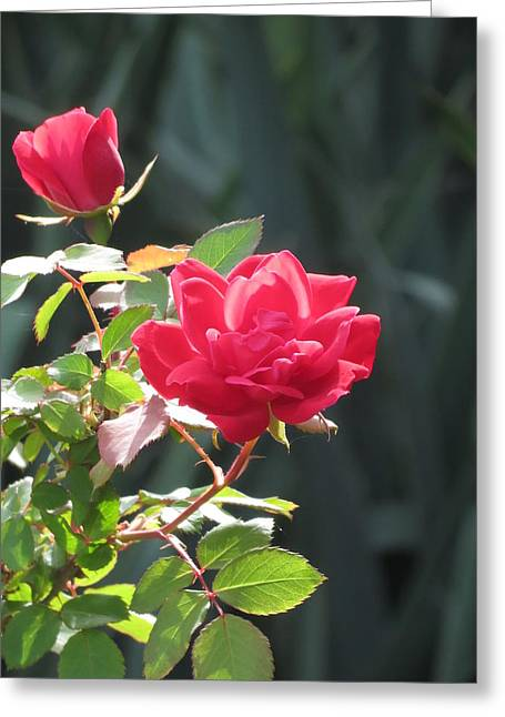 Red Rose Greeting Card by Rebecca Overton