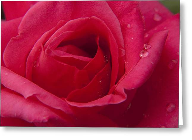 Greeting Card featuring the photograph Red Rose With Rain Tears by Darleen Stry