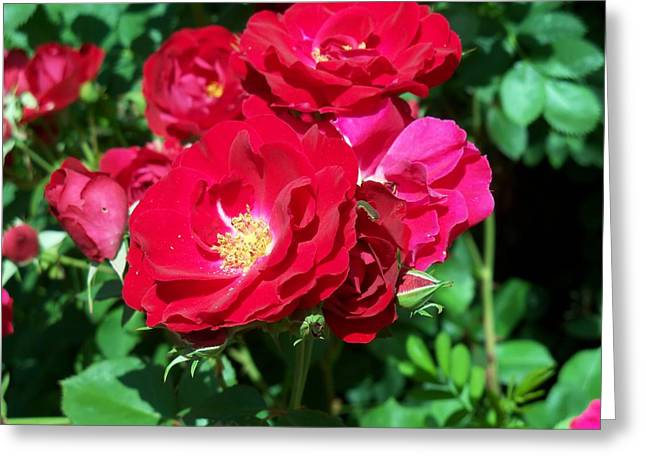 Red Roses Greeting Card