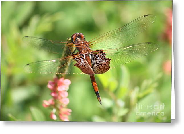 Red Saddlebag Dragonfly In The Marsh Greeting Card by Carol Groenen
