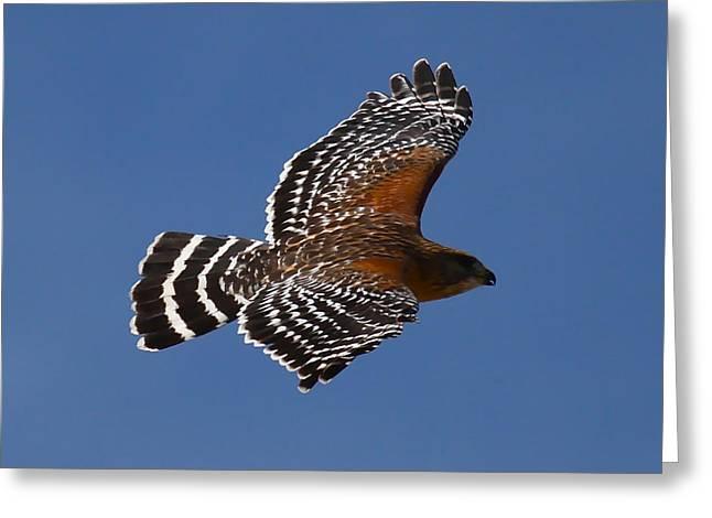 Red-shoulder Hawk Greeting Card