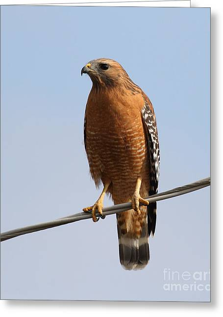 Red-shouldered Hawk . 7d10246 Greeting Card by Wingsdomain Art and Photography