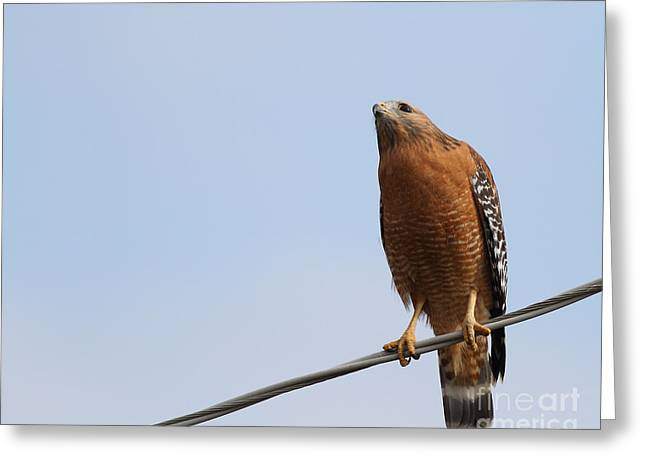 Red-shouldered Hawk . 7d10252 Greeting Card by Wingsdomain Art and Photography