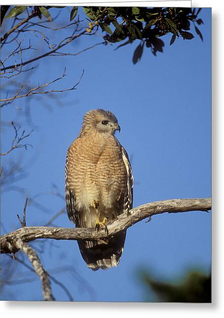 Red-shouldered Hawk Buteo Lineatus Greeting Card by Konrad Wothe