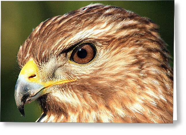 Red Shouldered Hawk Greeting Card