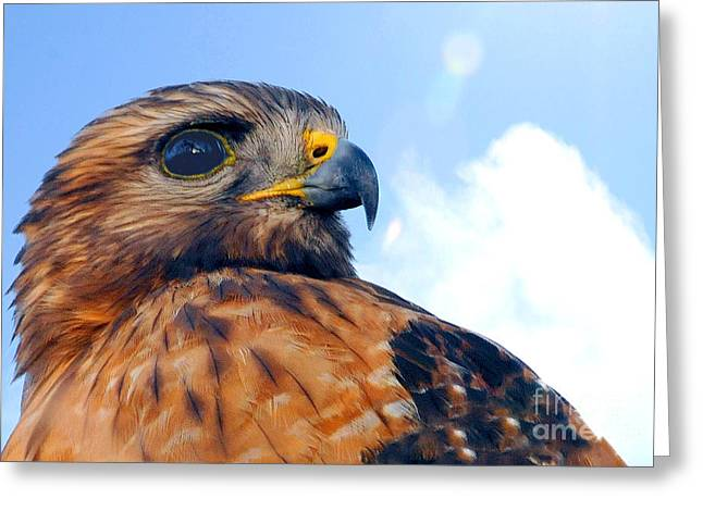 Greeting Card featuring the photograph Red Shouldered Hawk Portrait by Dan Friend