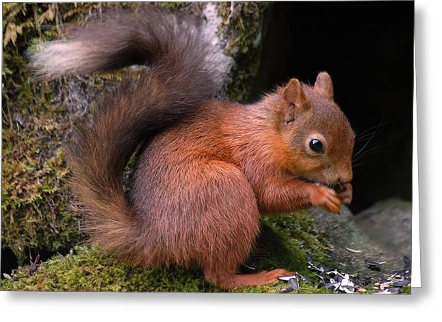 Greeting Card featuring the photograph Red Squirrel by Lynn Bolt