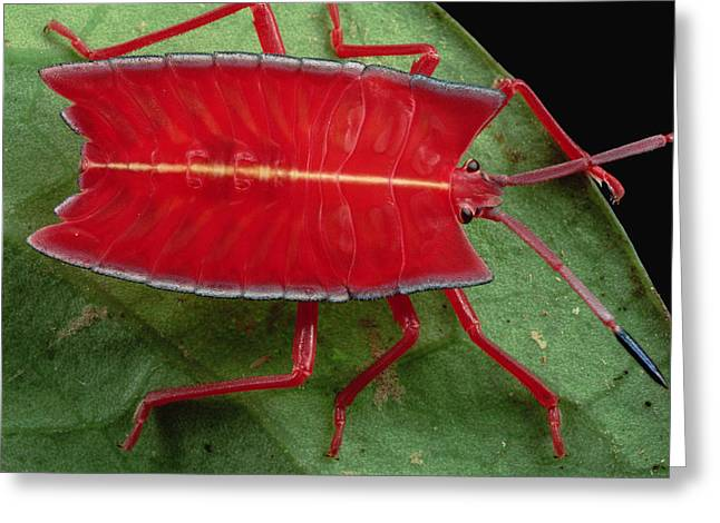 Red Stink Bug Brunei Greeting Card
