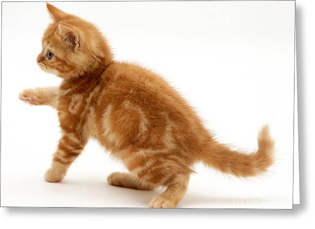 Red Tabby Kitten Greeting Card by Jane Burton