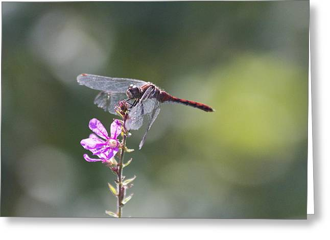 Red Tail Dragonfly Greeting Card by Michel DesRoches