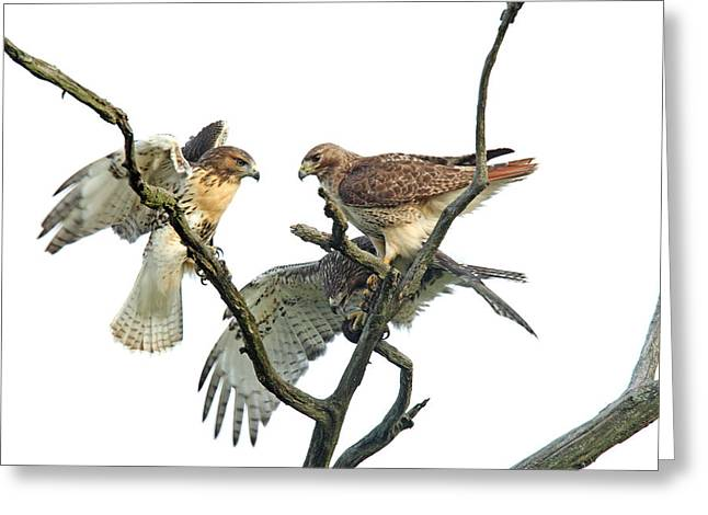 Red-tail Family Greeting Card by Denny Bingaman
