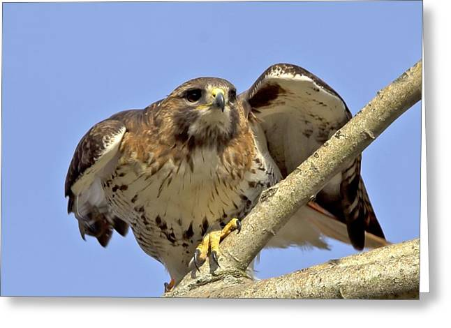Red Tail Hawk Closeup Greeting Card by Ron Sgrignuoli