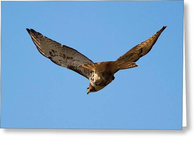 Red Tail Hawk Greeting Card by DK Hawk
