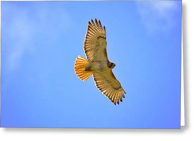 Greeting Card featuring the photograph Red-tail Hawk by Joe Urbz