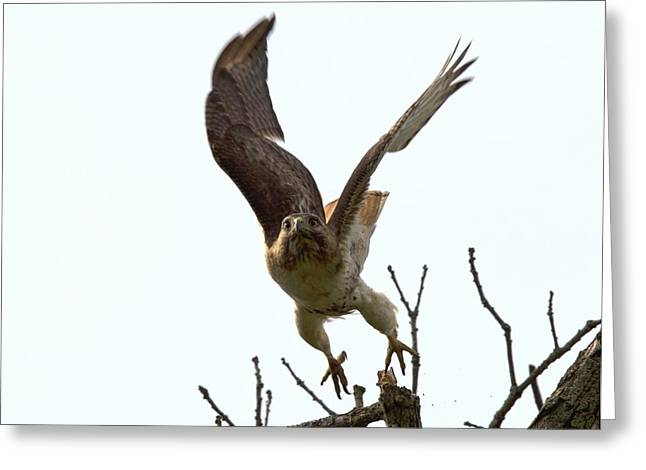Red Tail Hawk Takeoff Greeting Card by Ron Sgrignuoli