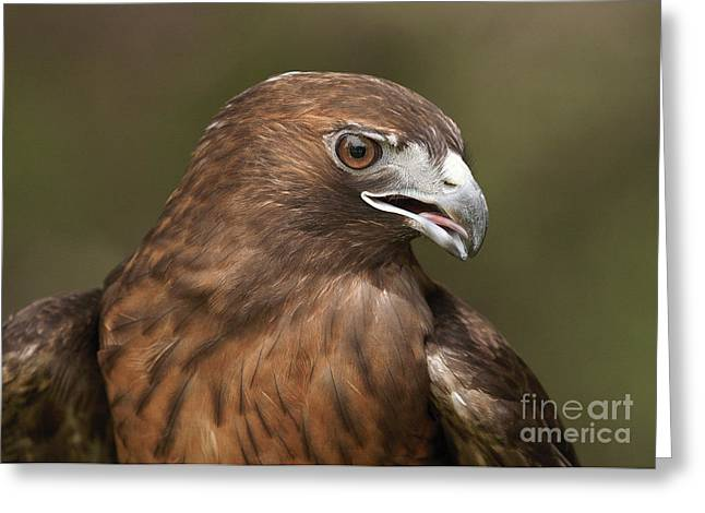 Greeting Card featuring the photograph Red-tailed Hawk by Doug Herr