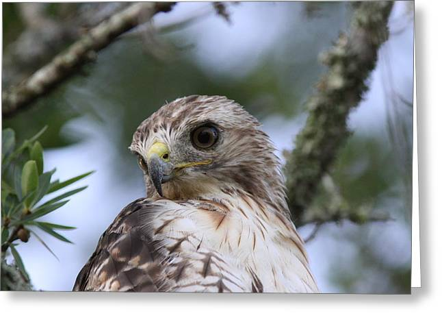 Red-tailed Hawk Has Superior Vision Greeting Card by Travis Truelove