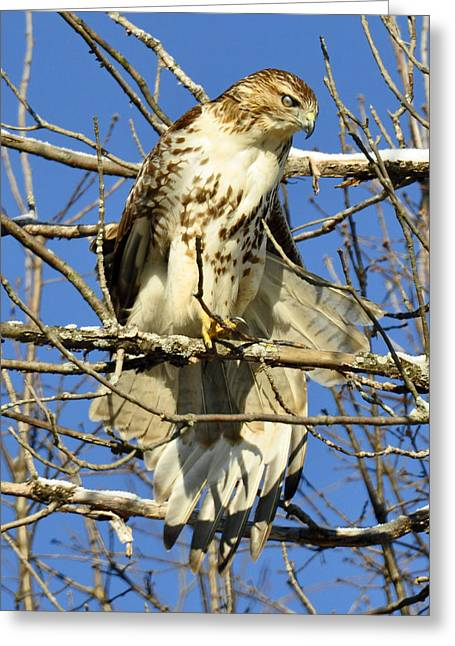Red Tailed Hawk In Winter Greeting Card by Rodney Campbell