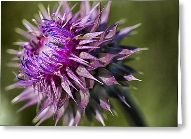 Red Thistle Pland Greeting Card