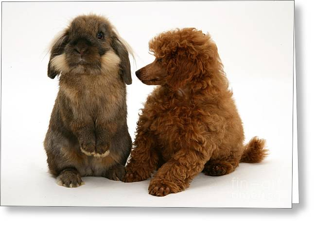 Red Toy Poodle Pup With A Lionhead Greeting Card by Mark Taylor