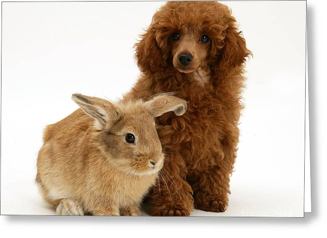 Red Toy Poodle Pup With Lionhead-cross Greeting Card by Mark Taylor