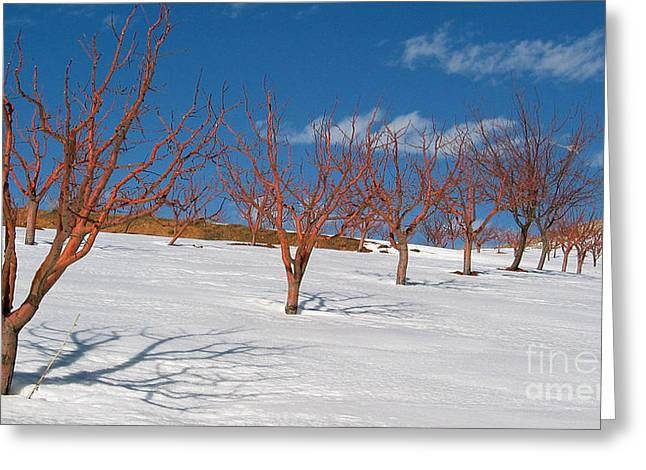 Red Trees Greeting Card by Issam Hajjar