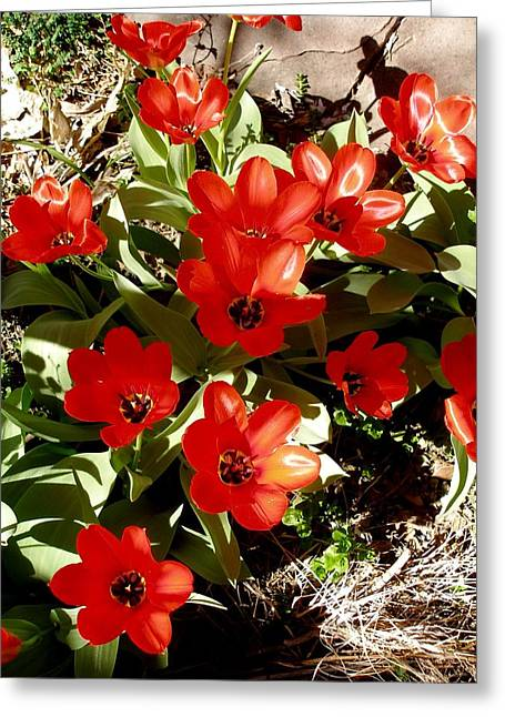 Greeting Card featuring the photograph Red Tulips by David Pantuso