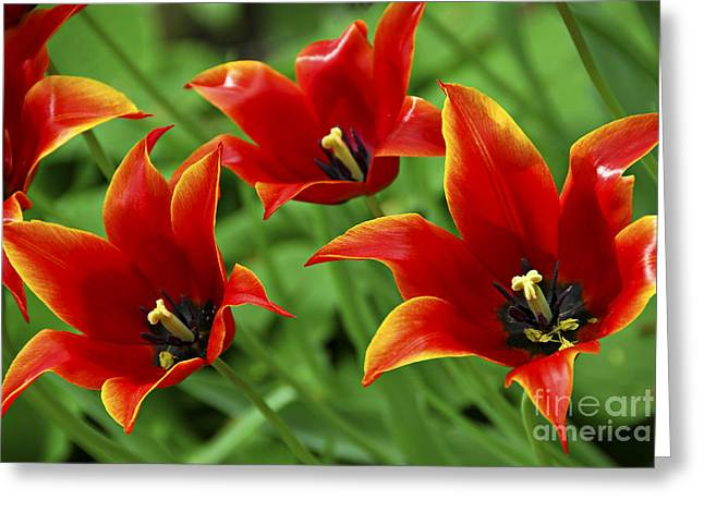 Red Tulips Greeting Card by Elena Elisseeva