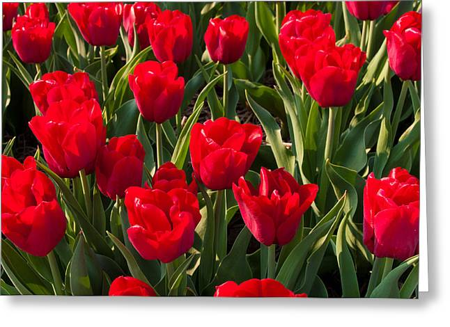 Greeting Card featuring the photograph Red Tulips by Hans Engbers