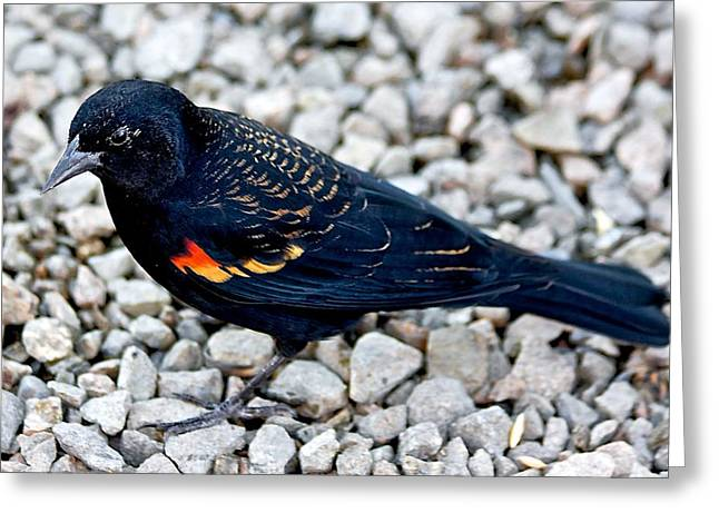 Red Wing Blackbird Greeting Card by Scott Holmes